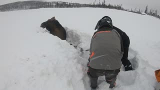 Snowmobilers Rescue Moose Buried in Snow - Video