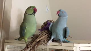 Two Parrot Brothers Speak English To Each Other  - Video