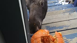 Moose Munches Pumpkin on Doorstep