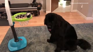 Black dog knocks ball into green and blue basketball hoop with nose