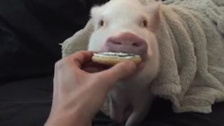 Pickle the mini pig gets a Halloween treat - Video