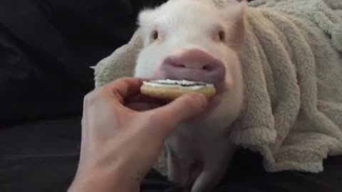 Pickle the mini pig gets a Halloween treat