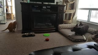 Hyped-up dog tries everything to engage cat in playtime - Video