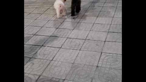 Two Dogs on the Same Leash Have Different Directions in Mind