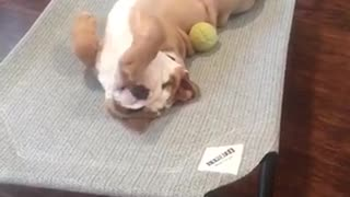 English Bulldog Puppy enjoying his new bed  - Video