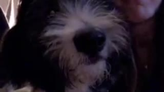 Black white dog puts face next to his owner while she talks  - Video