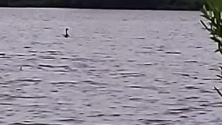 Goose on water