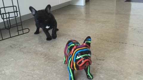 "French Bulldog confused by ""fake"" dog"
