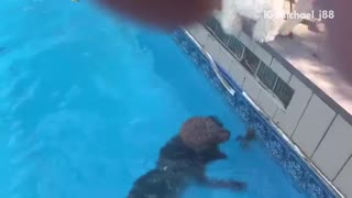 Dogs bark at frog swimming in pool.