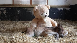 Orphaned Pony Cuddles With Teddy Bear!
