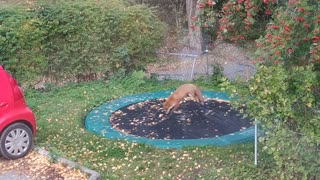 Playful fox pounces on trampoline