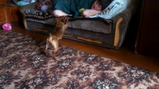 Dog begs for attention in peculiar way - Video