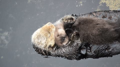 1 day old sea otter pup trying to sleep on mom
