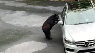 Bear Scared Away by Screams After Opening Car Door