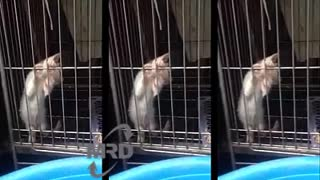 Exotic kittens with cries of 1 puppy - Video