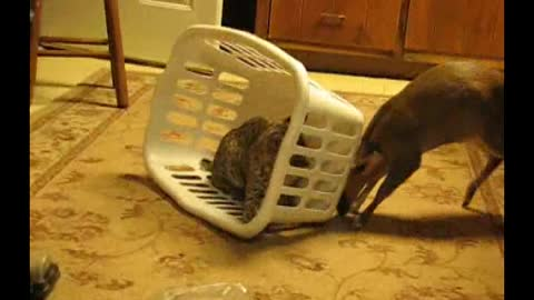 Muntjac Deer Traps A Bobcat Kitten In A Laundry Basket