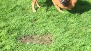 Lion dog playing ball  - Video