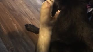 Ferret and dog share uniquely special bond