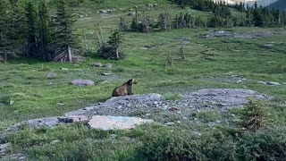 Bear Charges After Mountain Goats