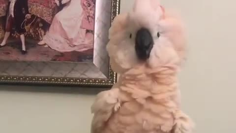 Crazy cockatoo shows off very interesting dance moves