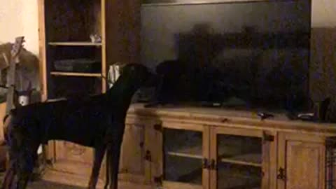 Doberman's priceless reaction after seeing himself on the TV