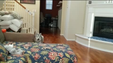 Husky acts as escalating dog alarm clock