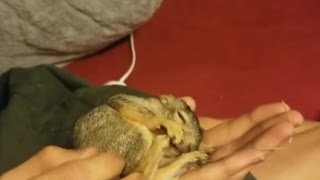 Injured Baby Squirrel Sleeps In Its Rescuer's Hand  - Video