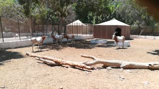 Male Scimitar Oryx Running Around His Family