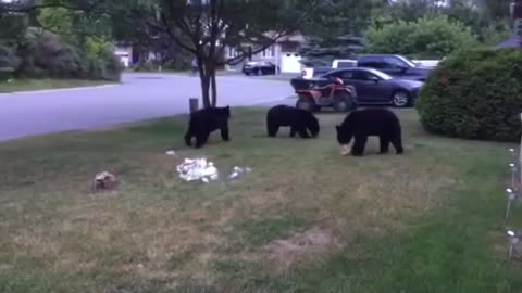 Trio of black bears chill out on front lawn