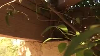 Two Owls Hiding in the Backyard - Video