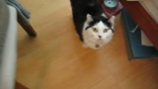 "A cat says ""MAMA"" to beg food, How cute!"