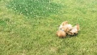 Dog rolls around grass obsessively  - Video