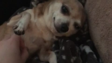 Tiny Chihuahua Loves Belly Rubs
