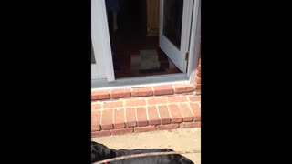 Black lab fails to fit big stick through door - Video