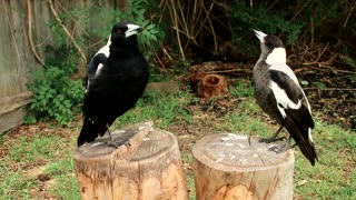Vocal Magpies - Video