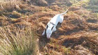 English Bull Terrier practices his army crawl - Video