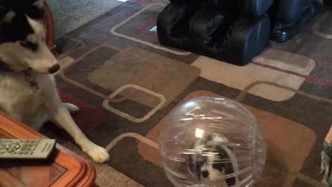 Siberian Husky cautiously analyzes bunny in a bubble