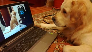 Golden Retriever Watches Golden Retriever Watch TV