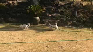 Dog Chases Its Friend with Sprinkler