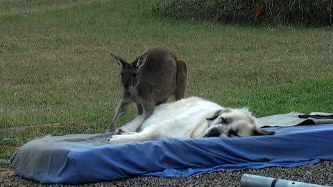 Kangaroo excessively grooms fluffy livestock guardian dog