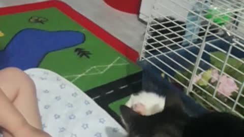Adorable 3 year old follows cats lead when meeting Guinea pigs