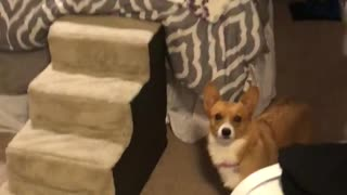 Luna The Corgi Is Afraid Of Balloons