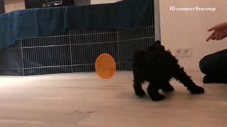 Slowmo black dog chases down orange lid - Video
