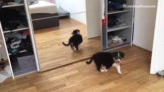 Puppy barks at the reflection of himself  - Video
