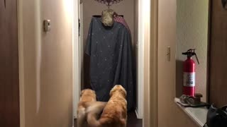 Adorable Golden Retrievers Afraid By T-Rex Blanket Challenge - Video
