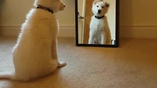 Dog and mirror - Video
