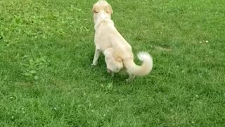 Dog plays with buddy despite neurological issues effecting her balance & coordination