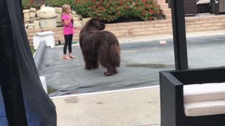 Newfoundland only behaves when owner isn't watching