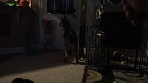German Shepherd Puppy and Baby try to catch laser light