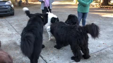 Small dog puts five giant Newfoundlands in their places!